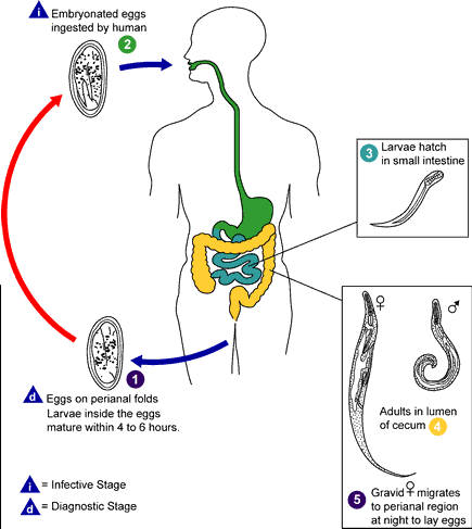 Picture showing pinworm infestation cycle in humans from egg stage to larvae stage